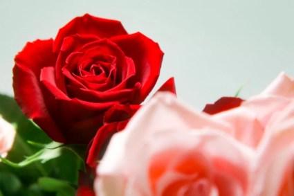 真紅の薔薇の花 – 無料画像・フリー写真素材 ActivePhotoStyle