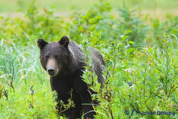 Alaska Brown Bear, Dry Bay