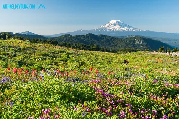 PCT in Goat Rocks Wilderness, Washington.  Wildflowers and view of Mt. Adams