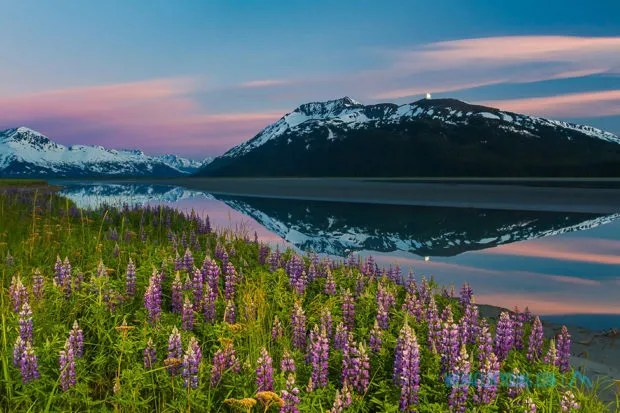 Image of lupines along Turnagain Arm outside Anchorage, Alaska