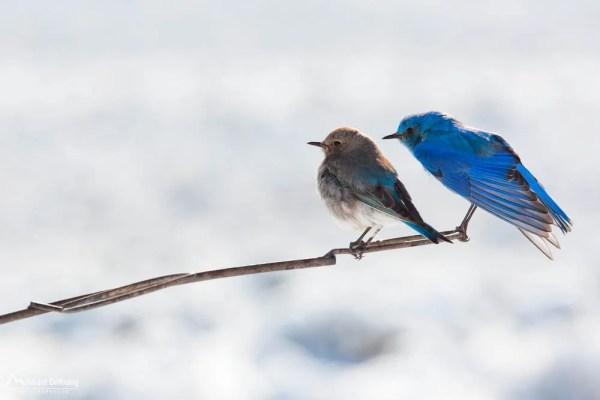 Pair of mountain bluebird portrait image