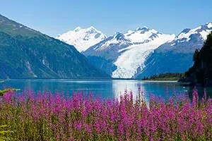 Landscape photo of fireweed with Surprise Glacier in background - Alaska