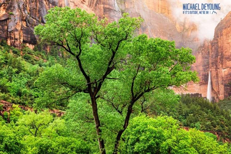 Spring Cottonwood Tree - Zion National Park, Utah