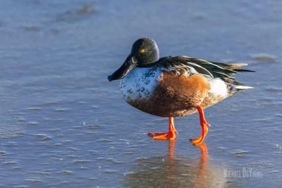 Northern Shoveler walking on frozen pond