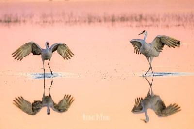 A pair of sandhill cranes interacting
