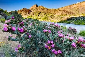 Photograph of blooming cactus along the shores of Rio Grande