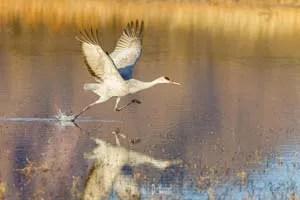Solo sandhill crane prepares to take off from Bosque del Apache pond