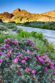 Flowering cactus along Rio Grande
