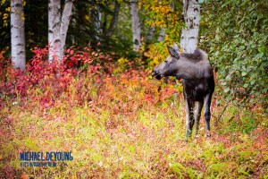 A yearling moose calf pauses from feeding to take a look around - Anchorage