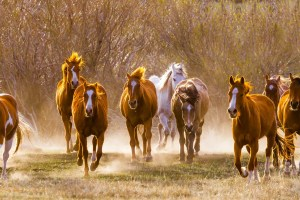 Team of horses running kicking up dust in its path. © Michael DeYoung