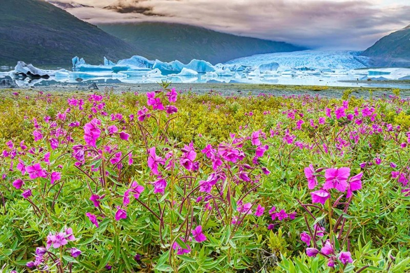 View of Spencer Glacier through the shore's dwarf fireweed. Alaska. © Michael DeYoung
