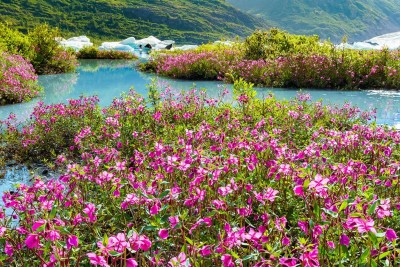 River beauty (dwarf fireweed) along Spencer Lake accessible by train © Michael DeYoung