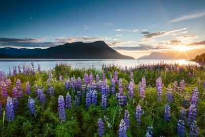Lupines along Turnagain Arm © Michael DeYoung