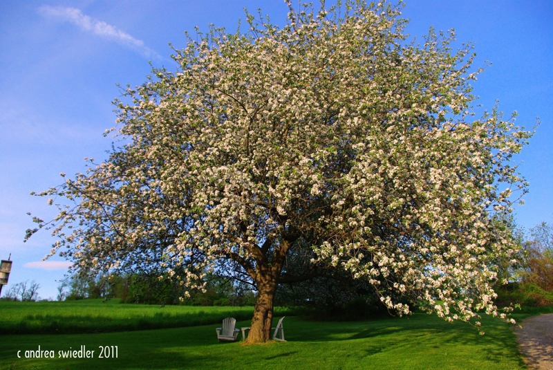 Apple tree in spring New Milford CT