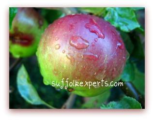 Long Island U-Pick Apples