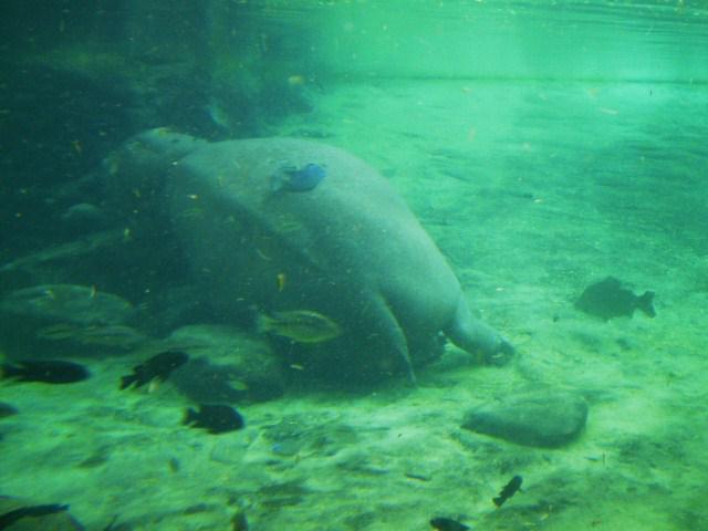 sleeping hippo at Busch Gardens