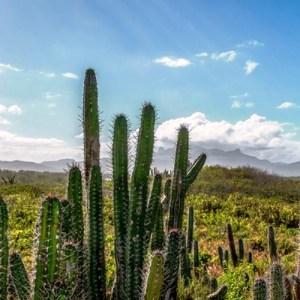 Wnezuela kaktusy