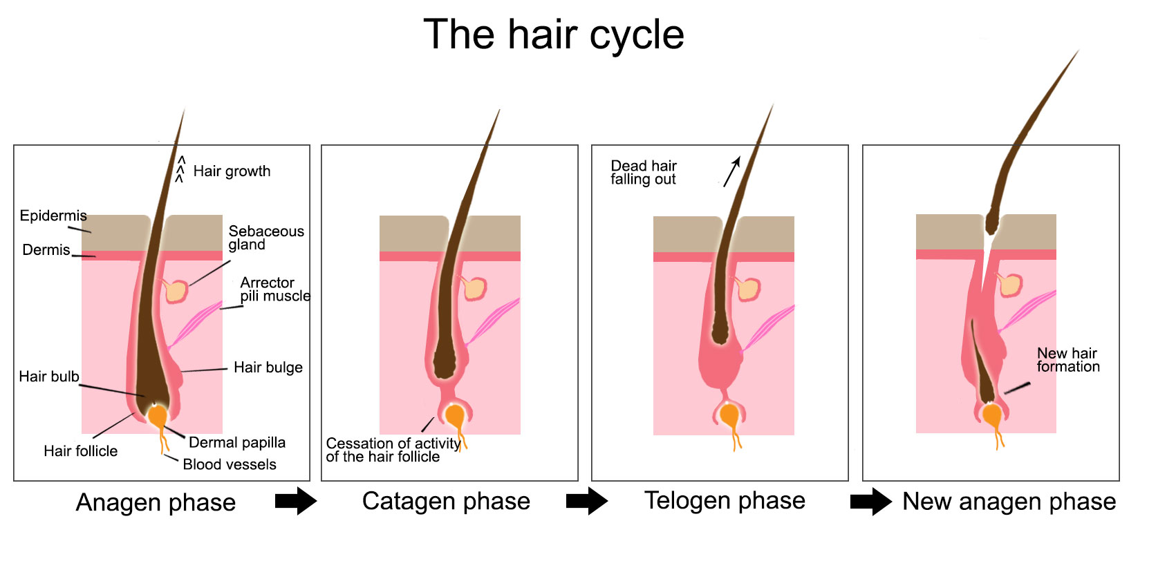 Formation Keratinization And Elimination Of The Hair