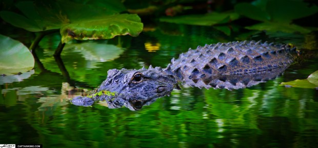 Florida Alligator in Green Canal Shark Valley Everglades Park
