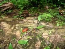 Grenouille des fraises (Dendrobates pumilio) Costa Rica
