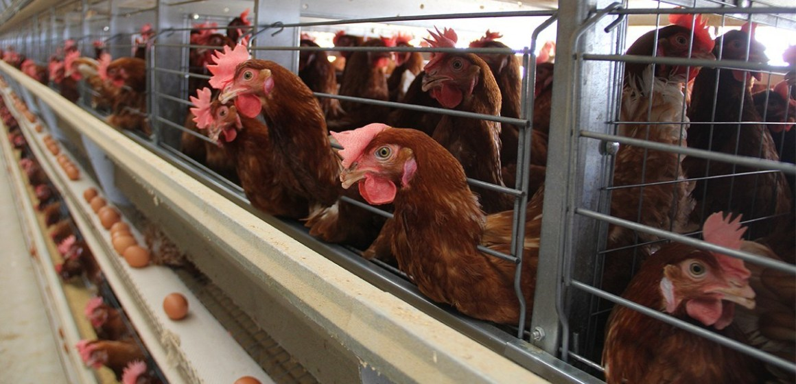 Produss organizó webinar sobre el tratamiento del pico en gallinas ponedoras