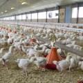 La importancia de los datos en producción avícola