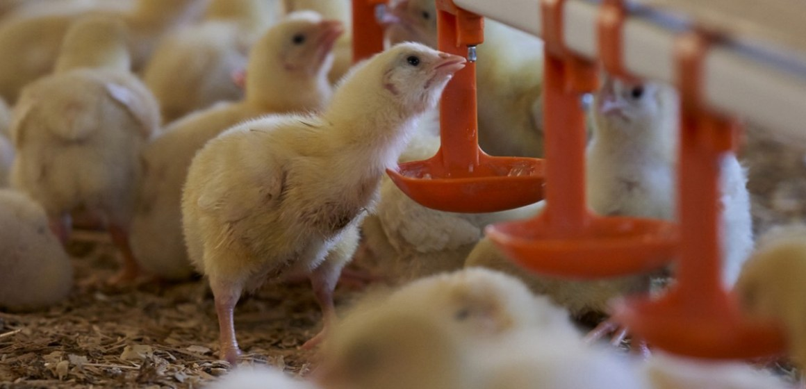 Calidad microbiológica del agua y su impacto en la performance de las aves