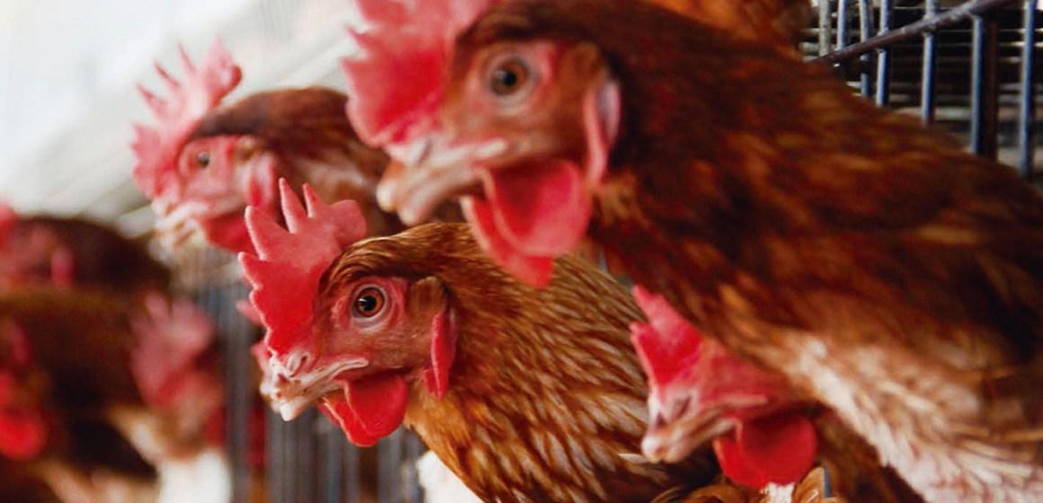 Evaluación del efecto de butirato de sodio en gallinas de postura en segundo ciclo de producción