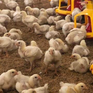 Los probióticos, prebióticos y otros compuestos que estimulan las bacterias benéficas en el tracto digestivo de las aves (Parte I)