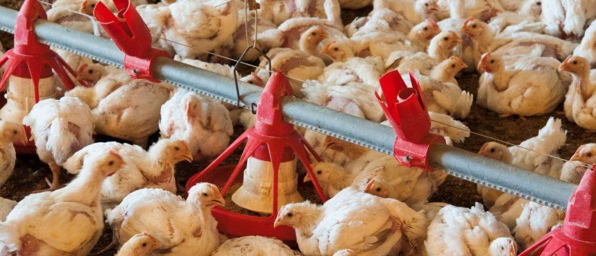 UNALM presenta sus cursos avícolas