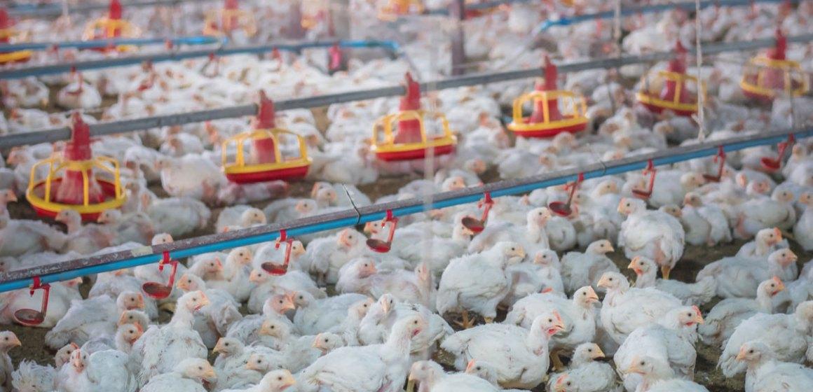 Los probióticos, prebióticos y otros compuestos que estimulan las bacterias benéficas en el tracto digestivo de las aves (Parte II)