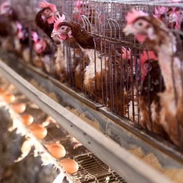 Influencia de la harina de caña proteica en la producción y calidad de huevos