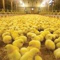 """""""Nutrición efectiva"""": Herramientas para optimizar la nutrición avícola"""