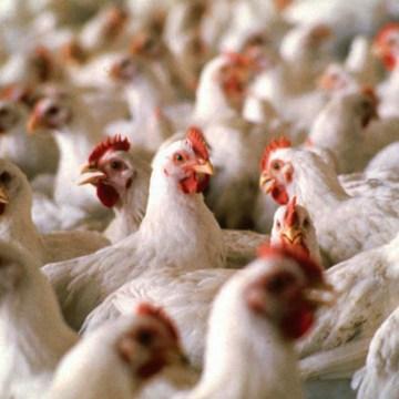 Propuesta avícola preocupa a España