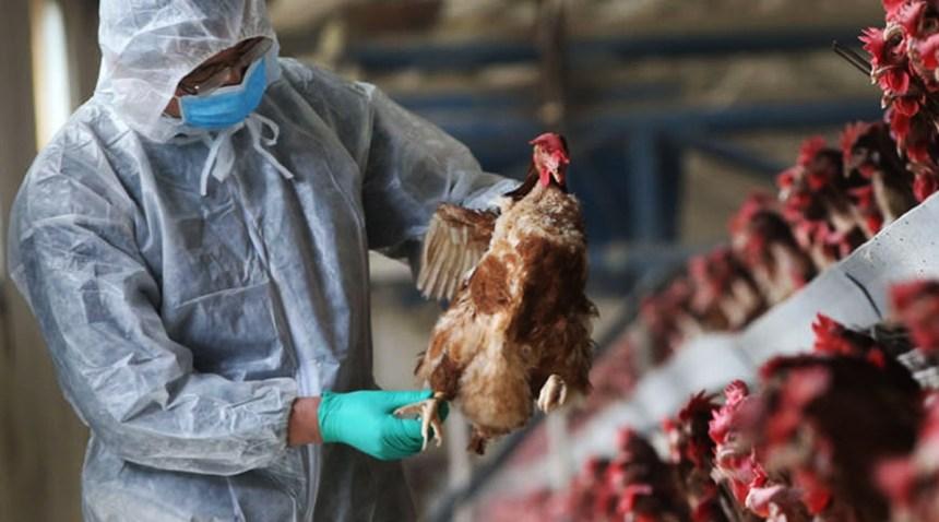 La existencia de Campylobacter en pollos se presenta en el Reino Unido