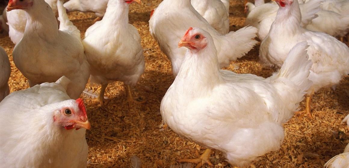 Argentina: residuos de manzana como alternativa de alimento en aves