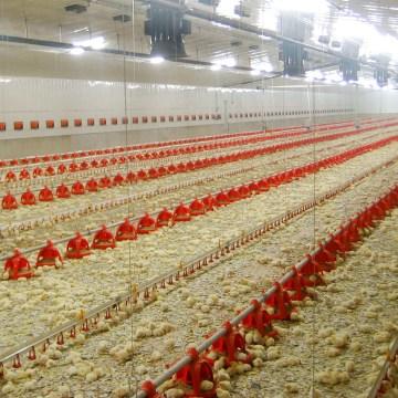 Cómo solucionar el estrés calórico en pollos