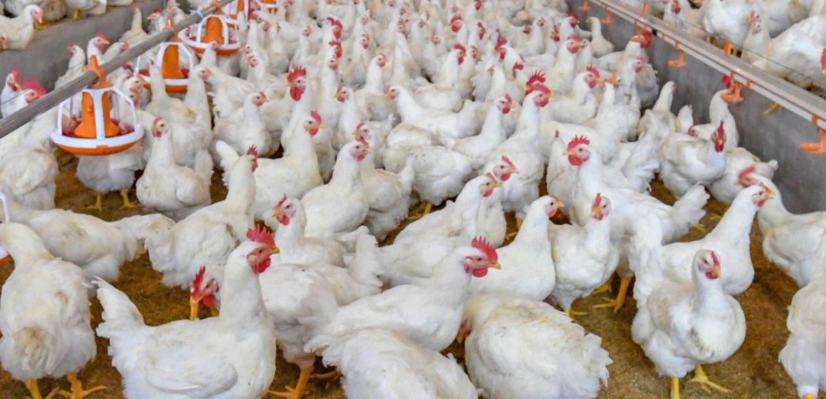 Factores que interfieren en la producción avícola