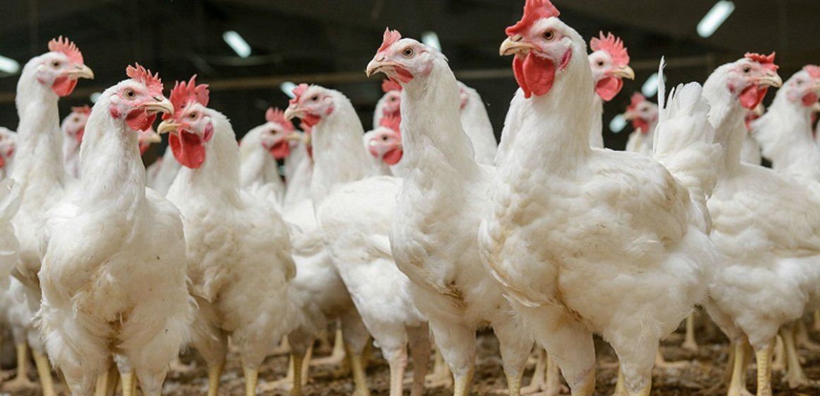 México: Influenza aviar se detecta en Jalisco y Querétaro