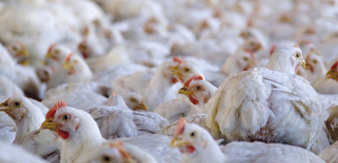 La mejora del rendimiento del pollito durante y tras el nacimiento con el enfoque de pérdida de peso no lineal