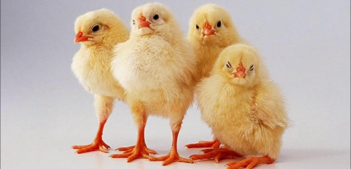 Desmitificando al pollo: las hormonas