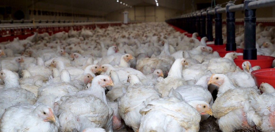 Estrategia en el uso de enzimas para degradar los polisacáridos no amiláceos en dietas de aves