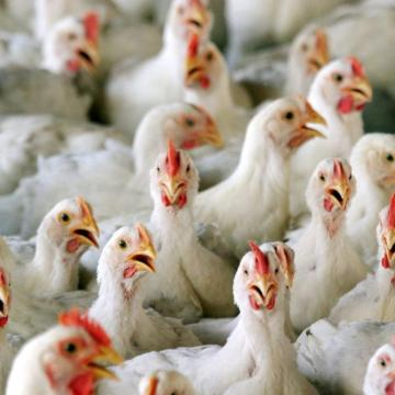 En Suiza han prohibido triturar pollos vivos