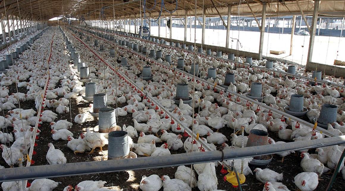 México pide suspender importaciones de pollo
