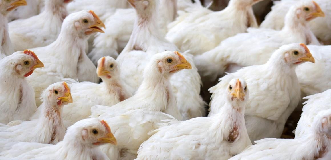 Consumo de pollo en Honduras crece un 20%