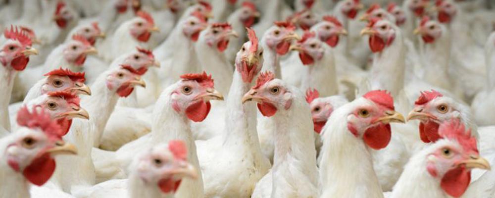 Polonia incrementó la producción de pollos