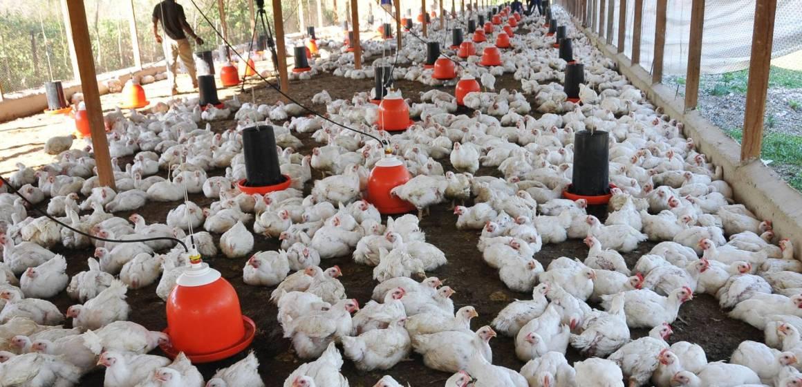 Avícolas en México tendrán buen cierre a fin de año