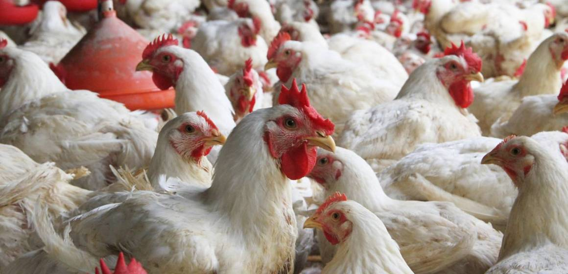 Avicultores exigen garantías a Bolivia para proveer pollo