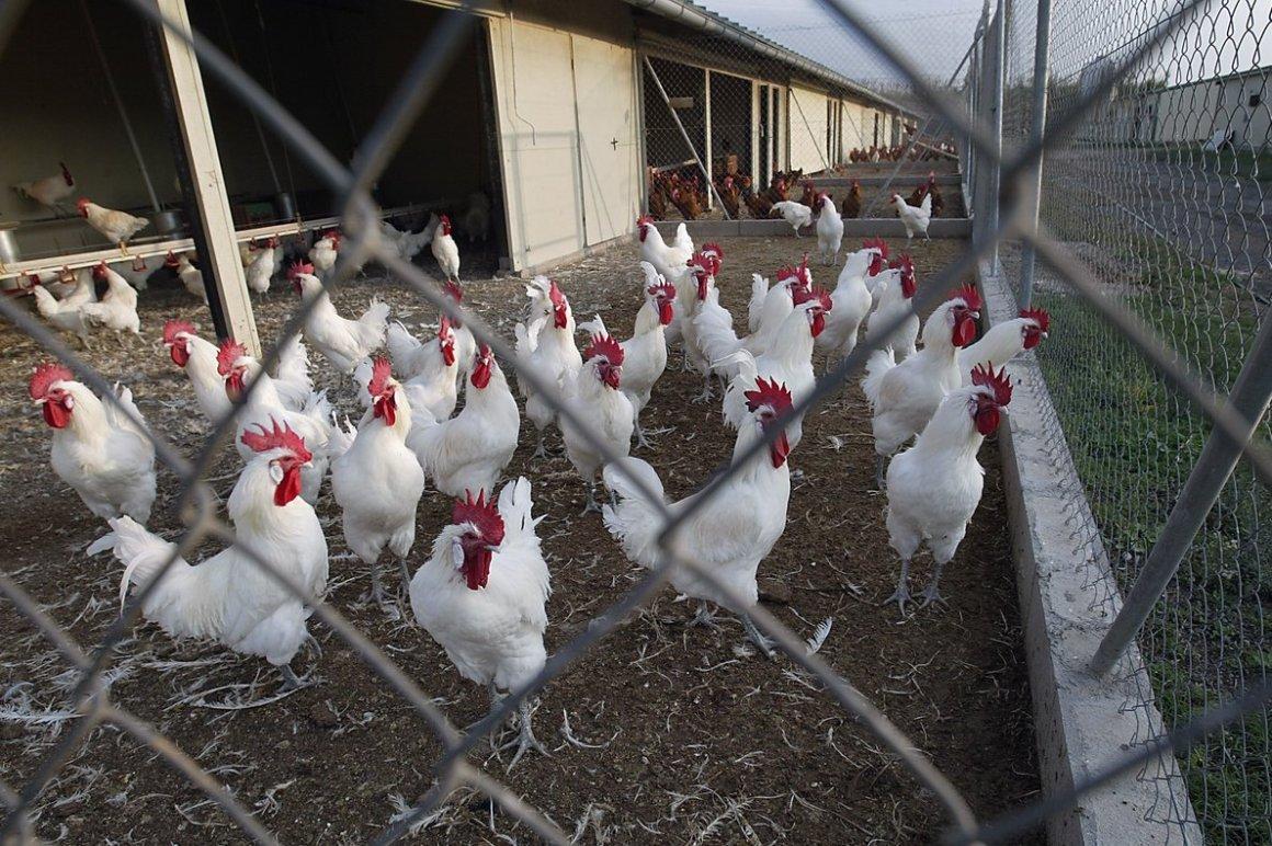 Producción de pollo de engorde aumentó un 7,1% en Chile