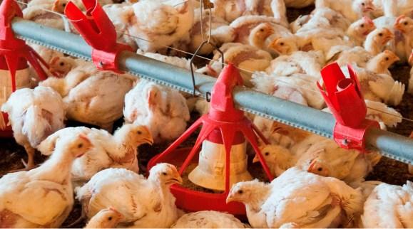 Alternativas de pigmentos sintéticos para uso en dietas de pollos